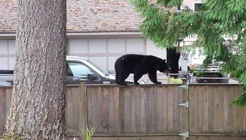 Schwarzbaer auf unserem Gartenzaun