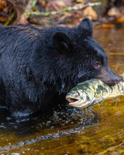 Black bear caught Salmon
