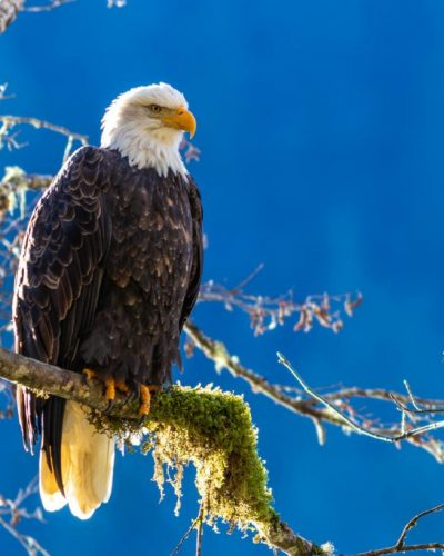 Bald Eagle on moss branch