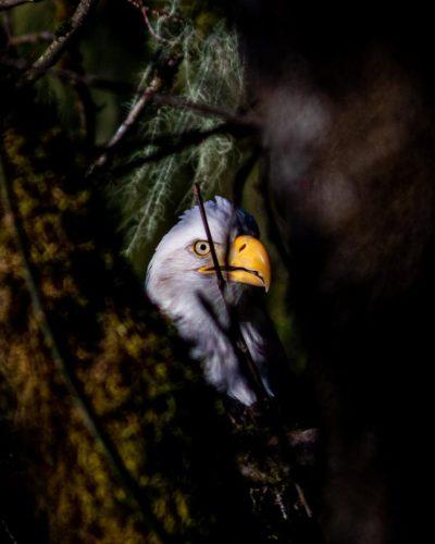 Bald Eagle head between trees