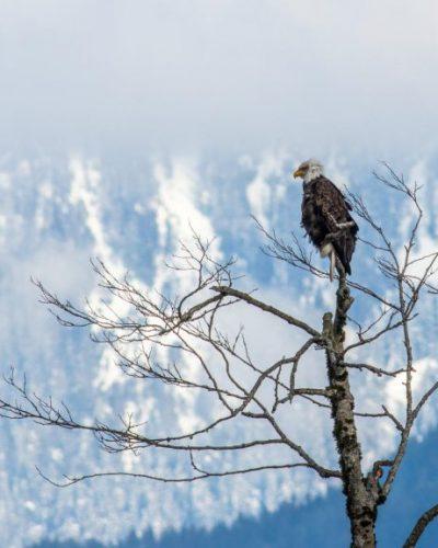 Bald Eagle with snow mountain